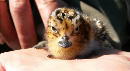 SBS chick