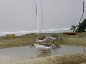 The spoon-billed sandpipers in the new room