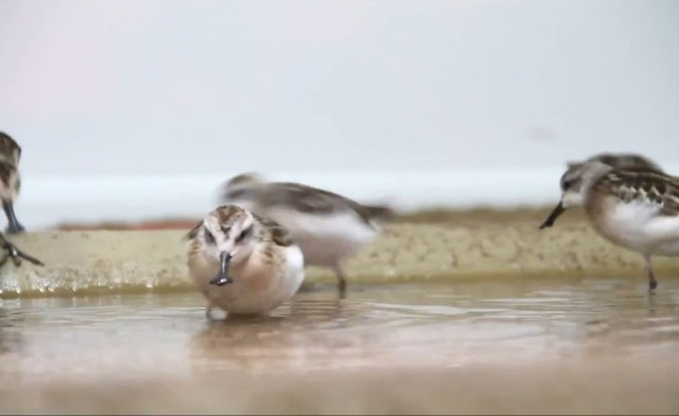 spoon-billed sandpiper video screen shot